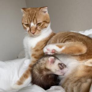 フェレット兄が猫弟を狙う…笑(Instagram、Twitter通信)