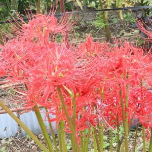 秋の畑の花をパシャリ
