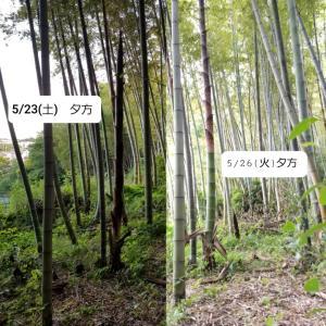 5/26(火) タケノコ観察日記