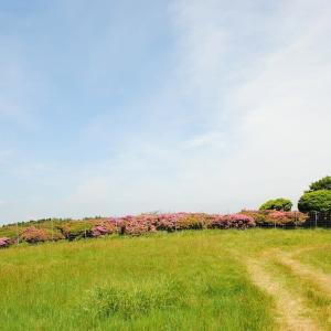 ミヤマキリシマ咲く万年山を行く