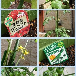 野菜の自宅栽培