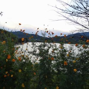 広沢池、キバナコスモスの咲く頃