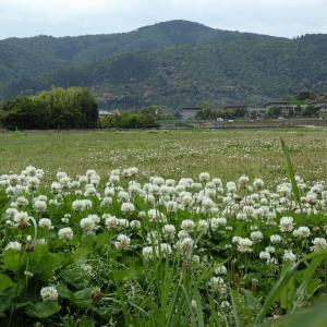 北嵯峨野田園地帯のクローバー
