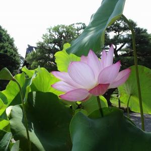 京都御苑、空蝉の百日紅