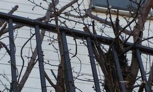梅が咲いた アパートの庭に切った梅の木から