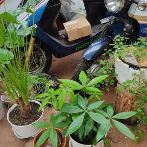 300円で買った観葉植物も、すくすく育って
