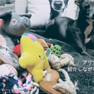 【犬のおもちゃ】イタグレのアリスの玩具を片付けながら紹介!YouTube♡イタグレアリス
