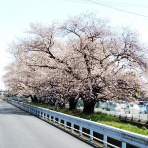 Ver.174(桜)
