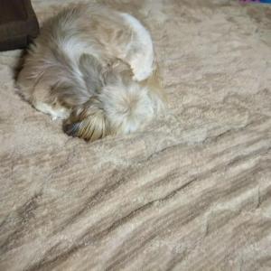 冬用寝具と同化する犬