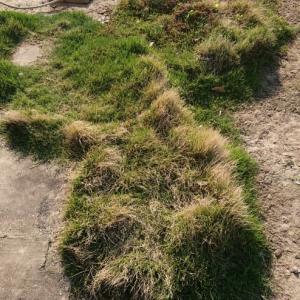 生き残り芝生