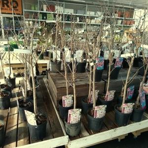 MY ガーデニング シリーズ (31) 桜の木 編