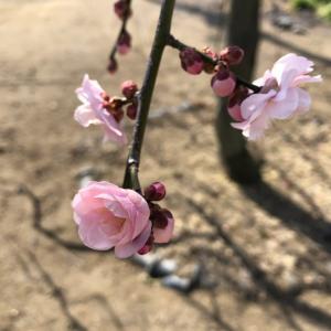 実家の庭先に咲いていた梅の花。