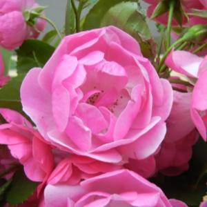 ■ 休息とバラの香り