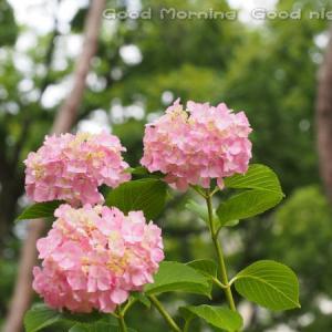 紫陽花31~今日の一枚~