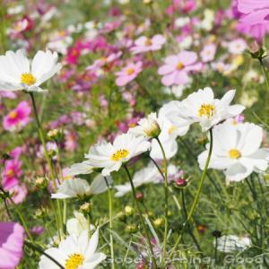 秋桜59~今日の一枚~