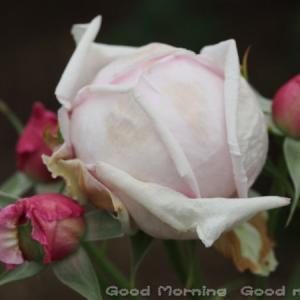 薔薇12~今日の三枚~