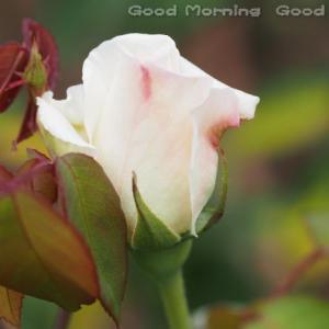 薔薇13~今日の三枚~