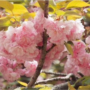 桜50~今日の一枚~