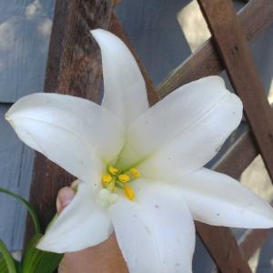 嵐のあとに咲いた百合の花