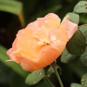 シュウメイギクが咲いた。