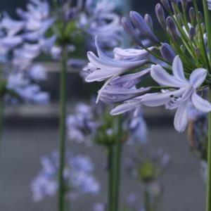 涼しそうなブルーの花