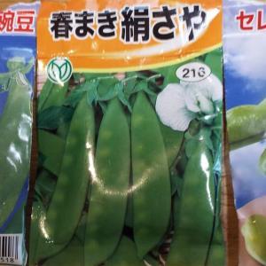 そら豆、えんどうの種まき