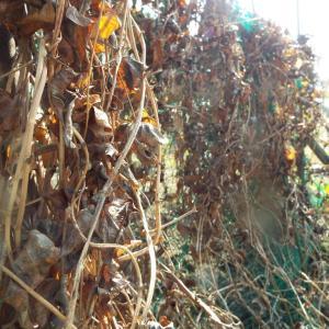むかごの収穫と自然薯を掘る!!
