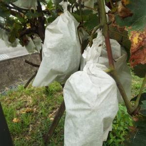 ブドウの袋を覗いてみました!!