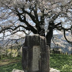醍醐桜を見てきました。