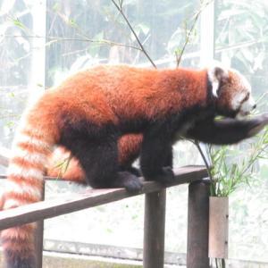 レッサーパンダを初めて見た!