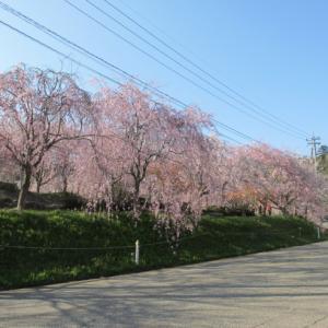 桜 振り返り写真(千路の桜)