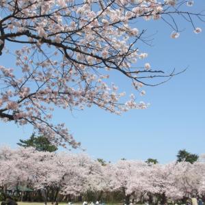 桜 振り返り写真(高岡古城公園)