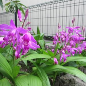 いつもと変わらない紫蘭