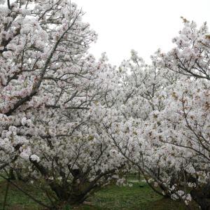 2021.4旅猿〜国内版 京都奈良編(5)御室桜