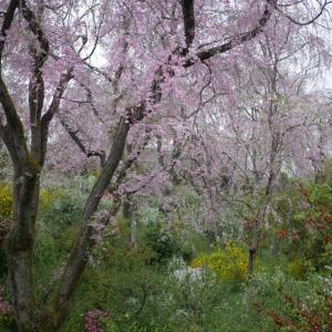 2021.4旅猿〜国内版 京都奈良編(6)京都一の桜の名所