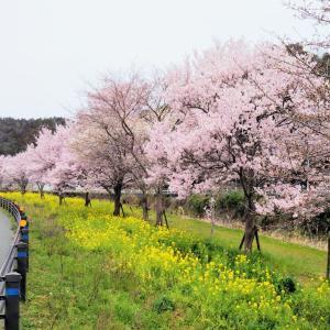 ●●●★★★猪名川の桜