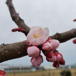 3月28日(日) あんず開花宣言