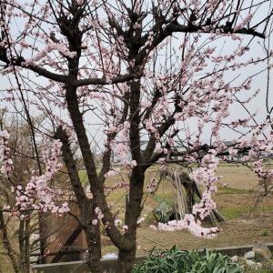3月30日(火) 杏(あんず)満開