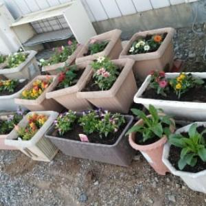 駐車場のプランターのお花 植え替えました