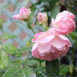 バラの挿し木とクレマチス挿し芽1年生