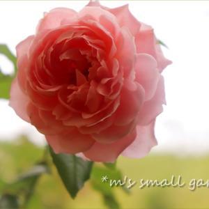 秋の薔薇と《球根シリカ》で球根の植え替え