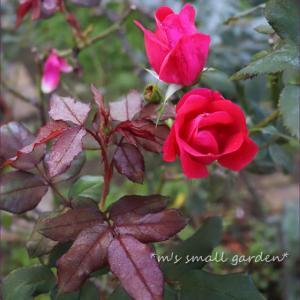 紫の葉の秋のバラ*ネリネ植え替え完了!