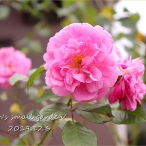 素心ハンショウヅルをいただきました!&庭のバラたち《アンジェラ、ラベンダーラッシー》