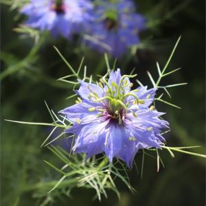 ニゲラの蒔き過ぎ?!<青い花の季節>