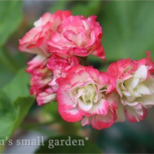 ご利益ありすぎ!《バラ咲きゼラ&チェッカーベリー&日々草フェアリースター》