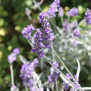 ラベンダーと紫陽花《みんな見るものが違うのね~》
