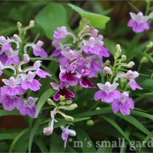 羽蝶蘭が咲き出しました《育て方も簡単!》
