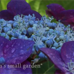 ガク紫陽花とアナベル*2年目のスーパートレニア・カタリーナブルーリバー