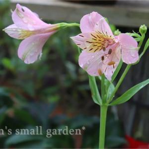 長く咲いてくれる花*金魚草ソネットとアストロメリア