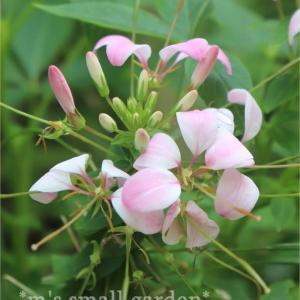 クレオメ・クリオとノコギリソウ桃子*優しげな夏の花